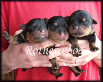 contract rottweiler pup